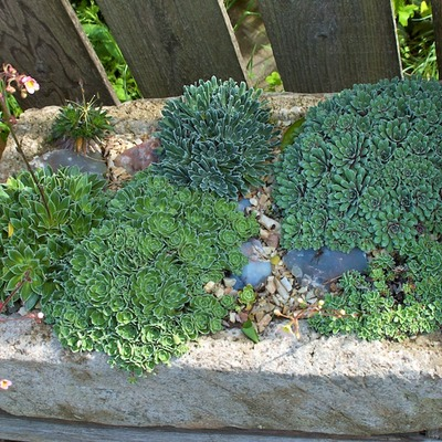 Saxifrage-trough 119